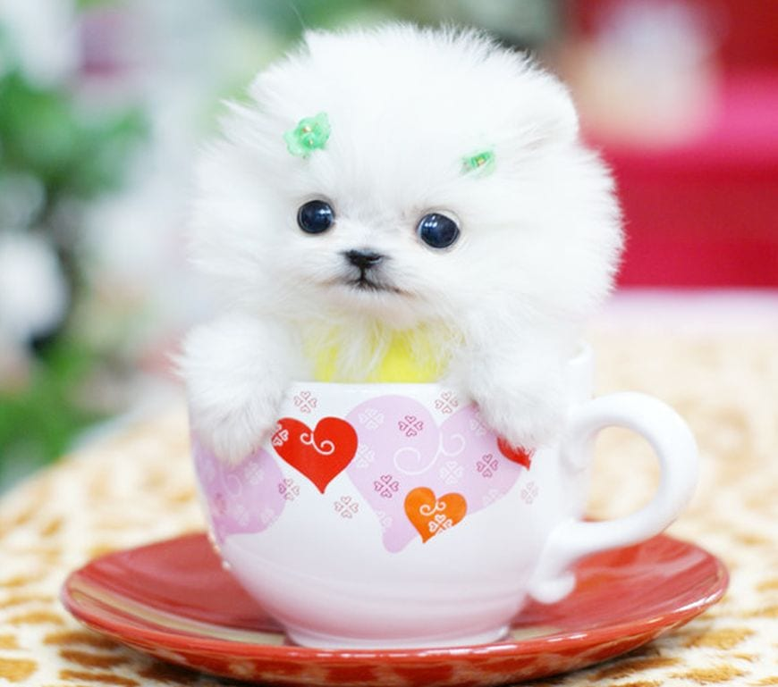 toy cup dogs