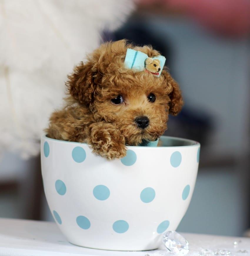 Teacup Pudel  P1011859