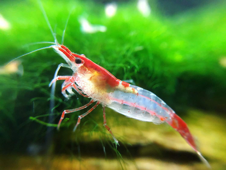 Freshwater Shrimp For Your Aquarium - Foreign policyFreshwater Shrimp