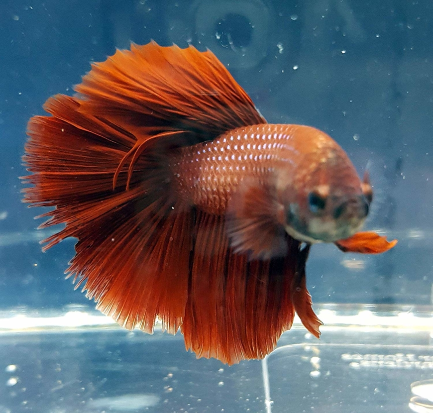 Betta Fish Archives Foreign Policy